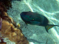 Parrotfish posing