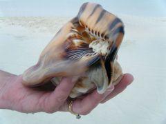 Beauty King helmet conch