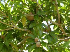 """Sapodilla or """"Dilly"""" tree"""
