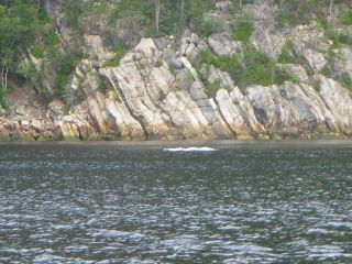 Toward Tadoussac- a beluga near the shore