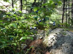Wild Blueberries! Tasty!