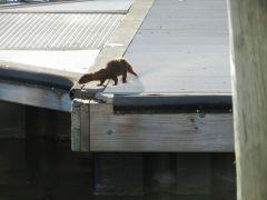 Ocracoke mink! Really!