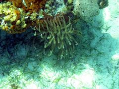 Anemone under coral head