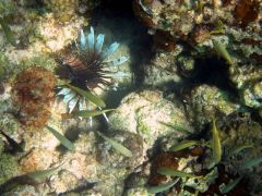 Another Lionfish- invading species
