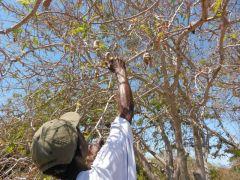 JR leads the way- Tamarind tree!