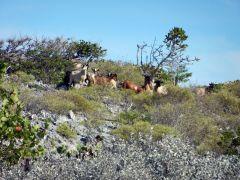 Goats on Johnson Cay