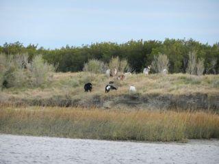Goats ashore at NC-SC border